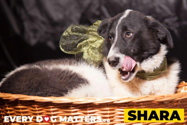 shara3